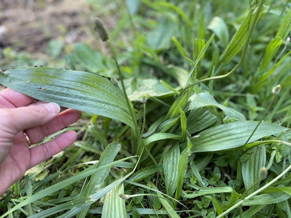 leafy greens: narrowleaf plantain