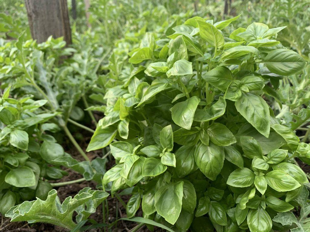 Grow basil from cuttings