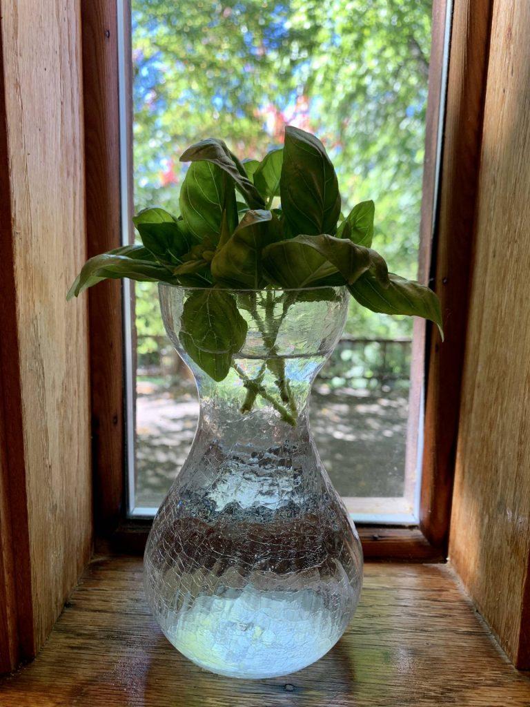 basil cuttings in water