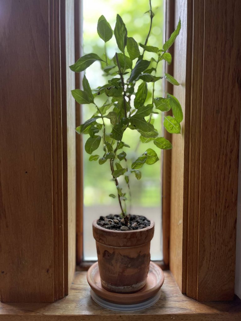 basil plant from cuttings