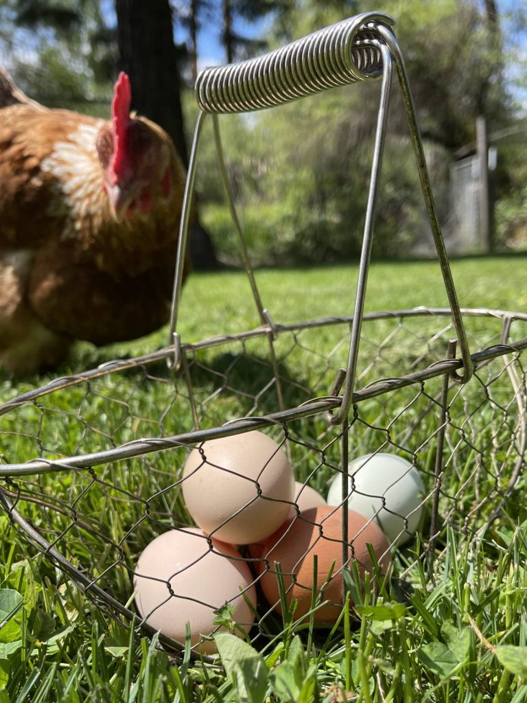 gathering eggs twice a day in hot weather