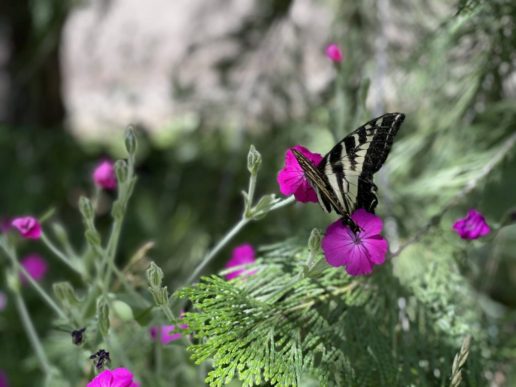 swallowtail butterfly on rose campion