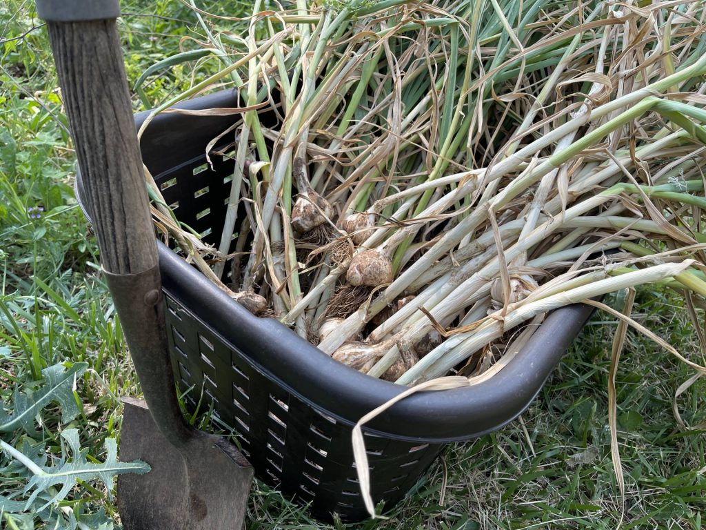 Project Week: Garlic Harvest