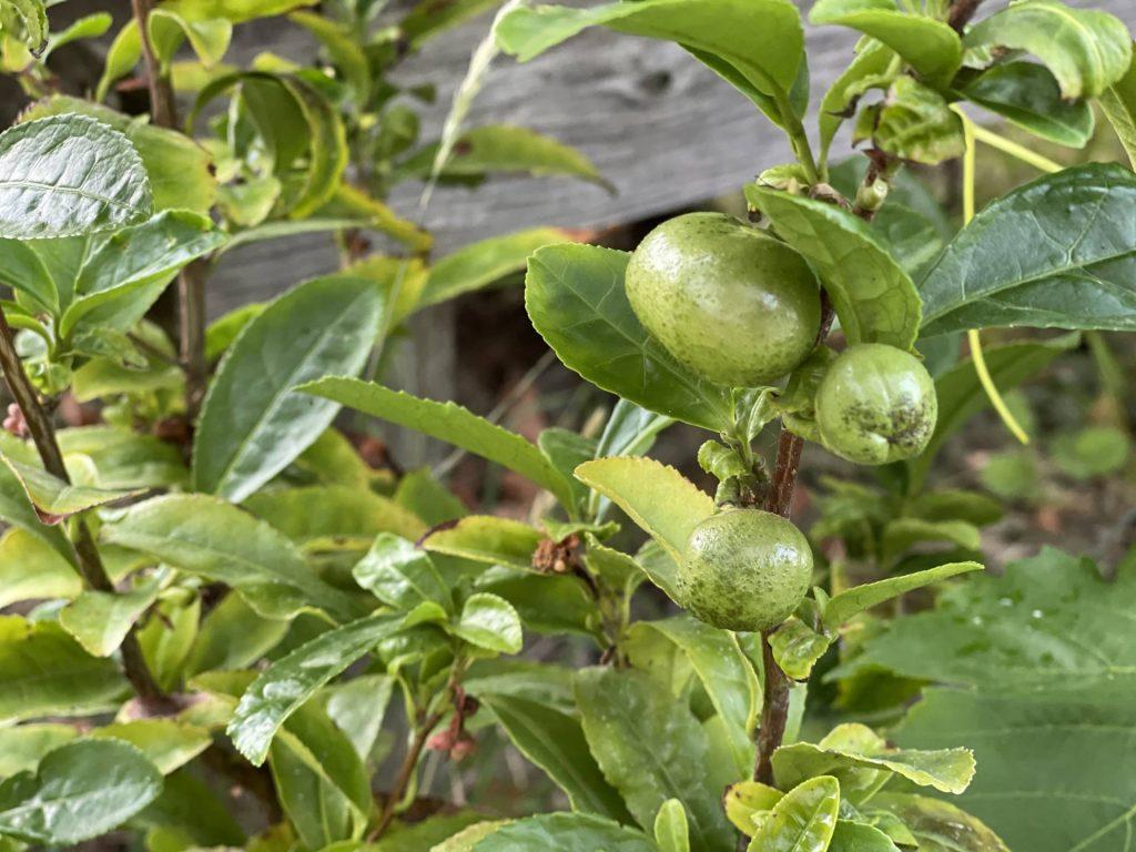 Tea camellia seed fruit